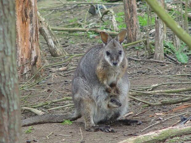 Marsupial placenta: It does a body good