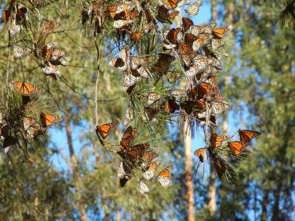 Learn all about Monarch butterflies at Shenandoah National Park