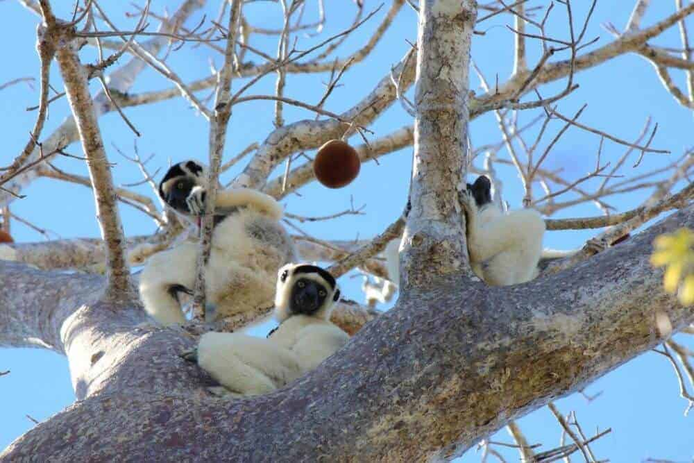 Gut Microbiome Influenced Heavily by Social Circles in Lemurs