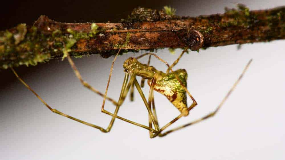 How brightly colored spiders evolved on Hawaii again and again … and again