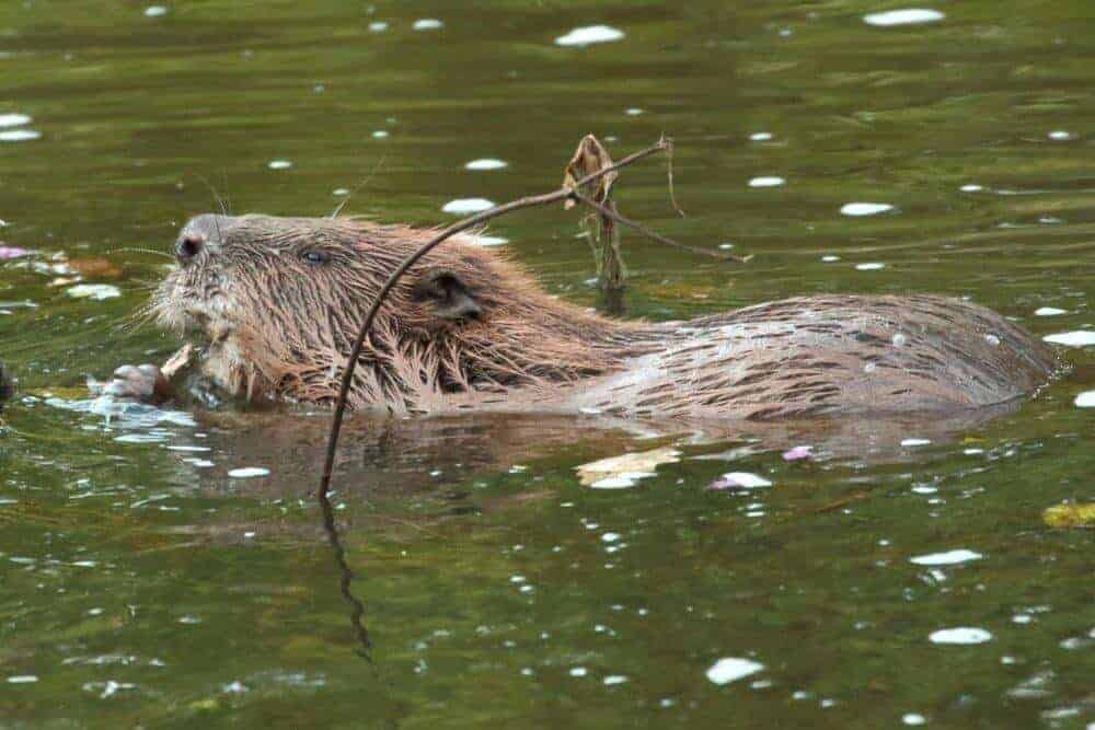 Beavers do dam good work cleaning water, research reveals