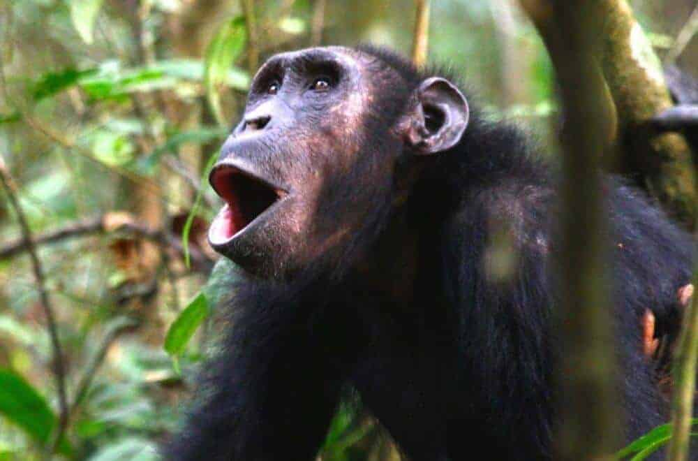 Chimpanzee calls differ according to context
