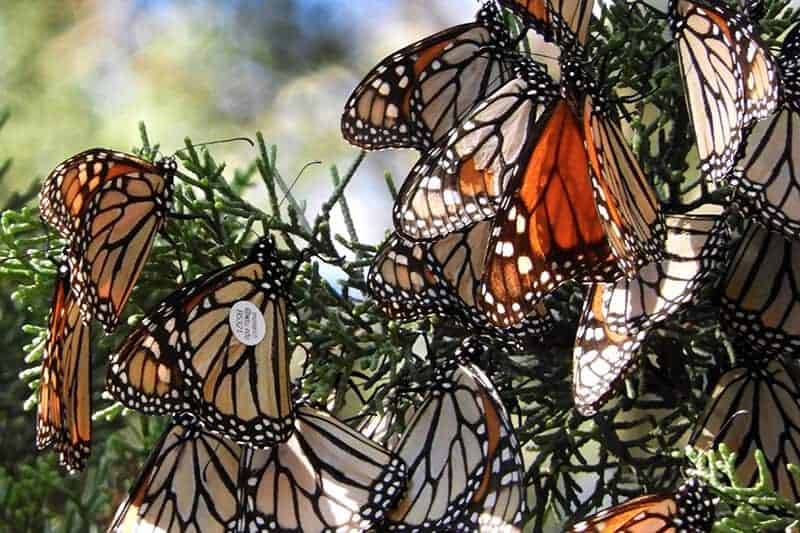 Monarchs ride west coast winds: Proof of butterfly migration