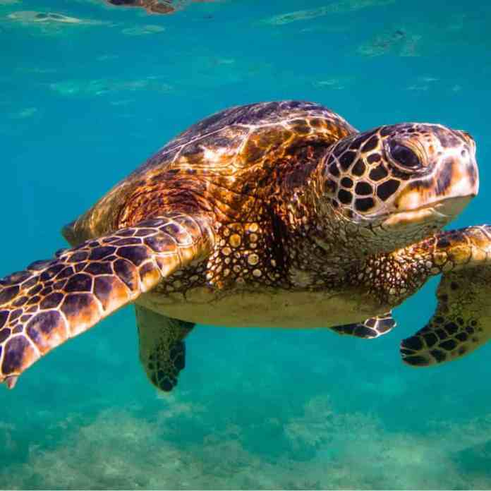 Could human cancer treatments be the key to saving sea turtles from a disfiguring tumor disease?