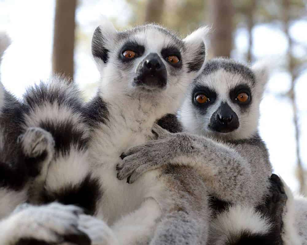 Lemurs can smell weakness in each other