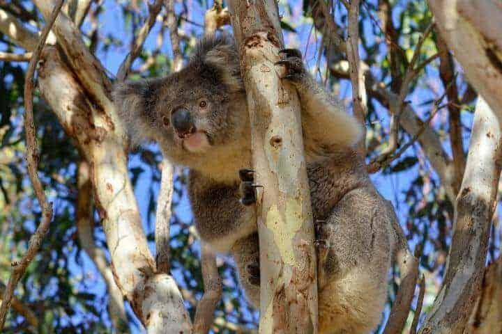 Koala virus could explain why humans have 'junk' DNA