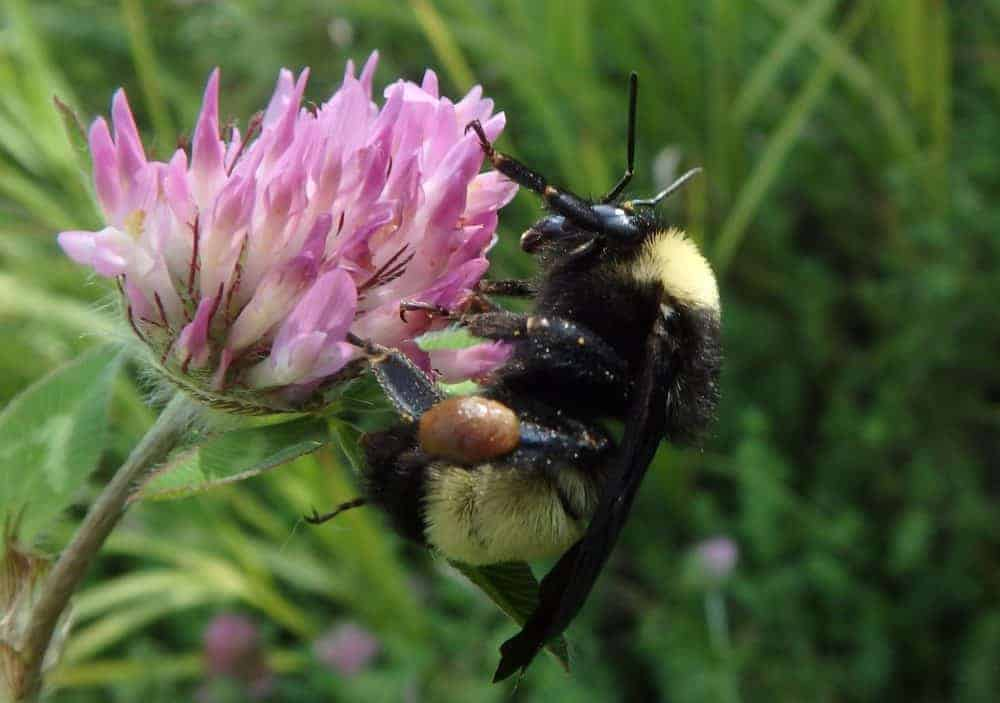 Disappearing bumblebee species under threat of extinction