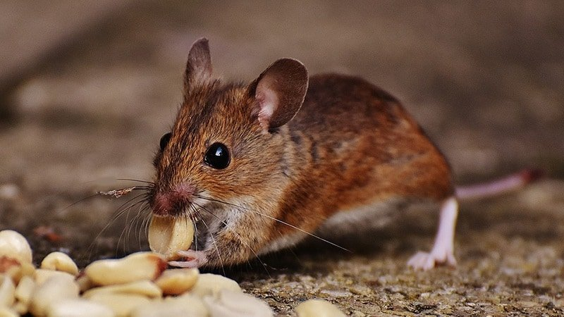 Team finds mouse brain area that links sounds to rewards