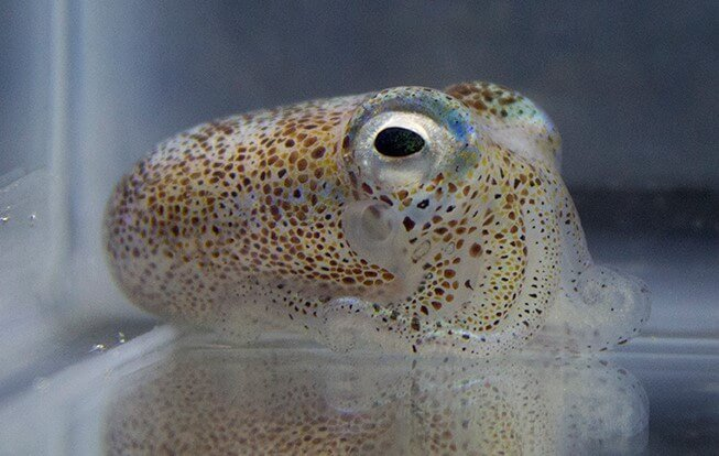 Genetic redundancy aids competition among symbiotic bacteria in squid
