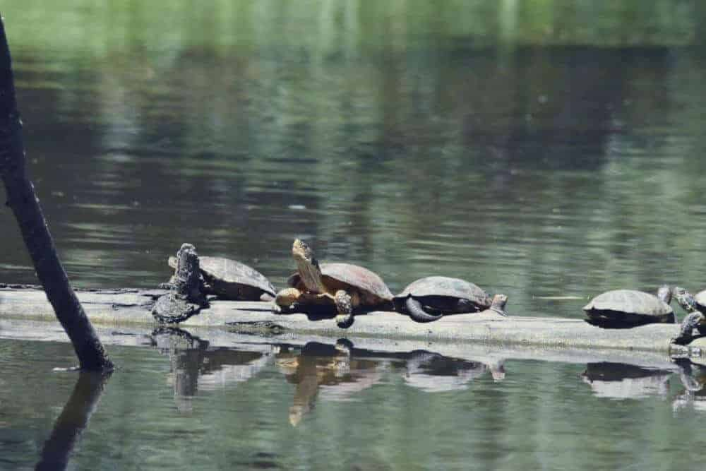 How red-eared invaders are hurting California's native turtles