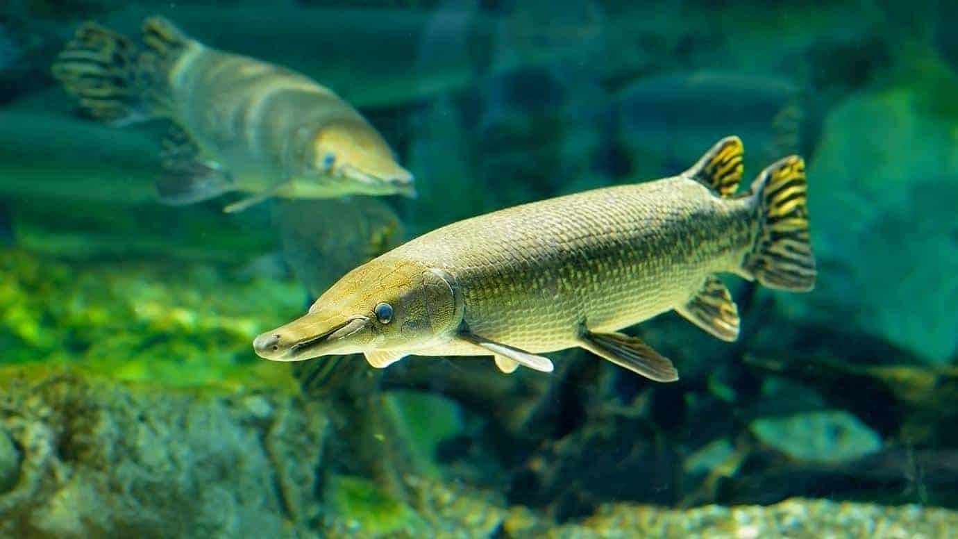 Caught on video: Watch the 'trash fish' of the South vacuum up its prey
