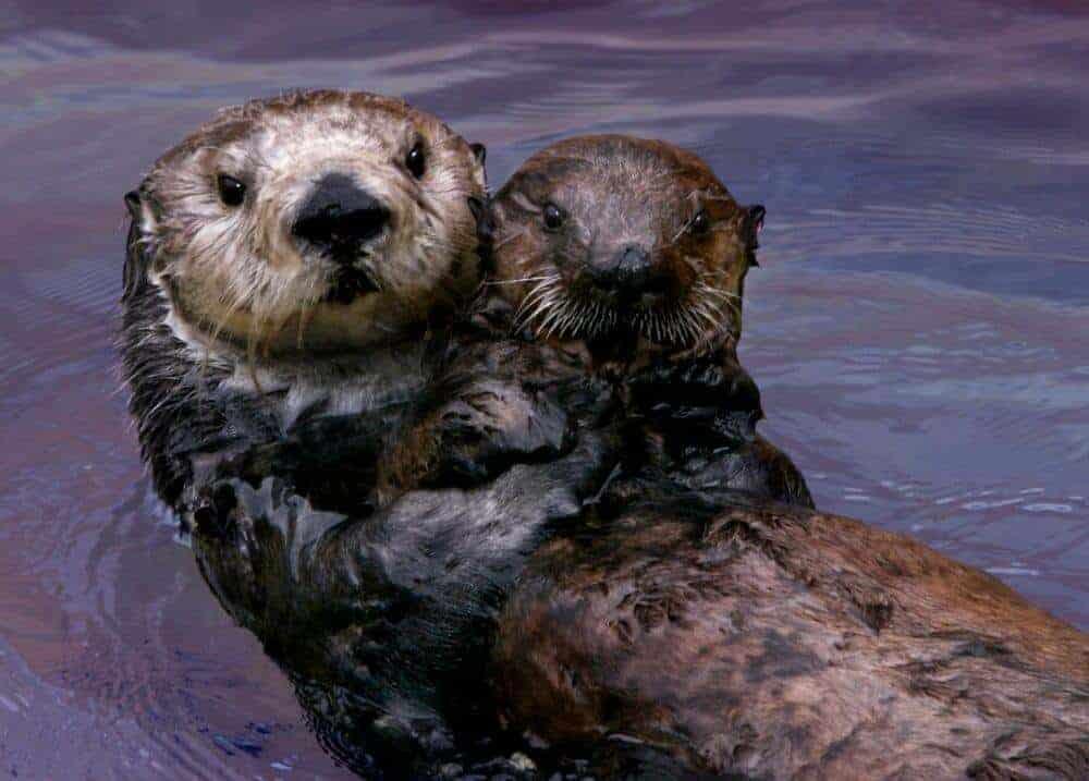 Study confirms Monterey Bay Aquarium surrogate-reared sea otters helped restore threatened population