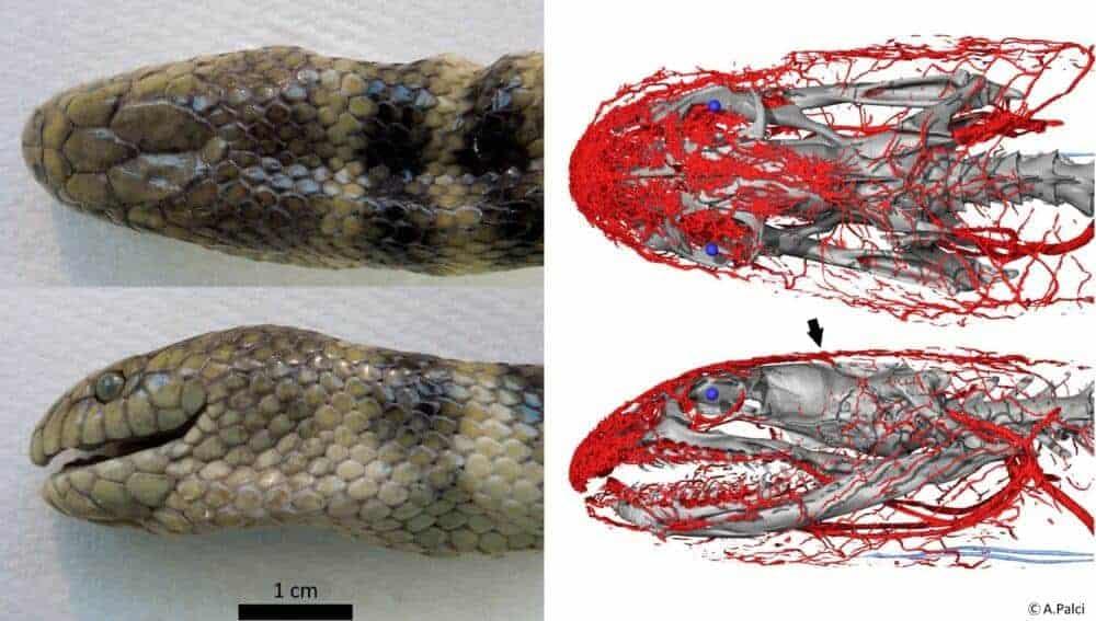 Tropical snake uses its head to 'breathe'