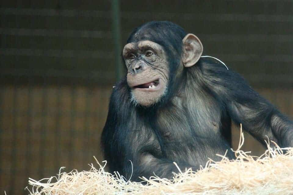 Chimps and bonobos may track eye gaze like humans