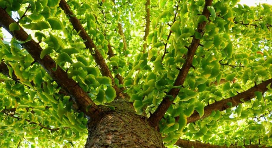 Chemists devise efficient synthesis of ginkgo tree compound that could be used as a 'green' insecticide
