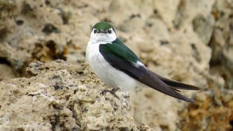 Collapse of desert birds due to heat stress from climate change