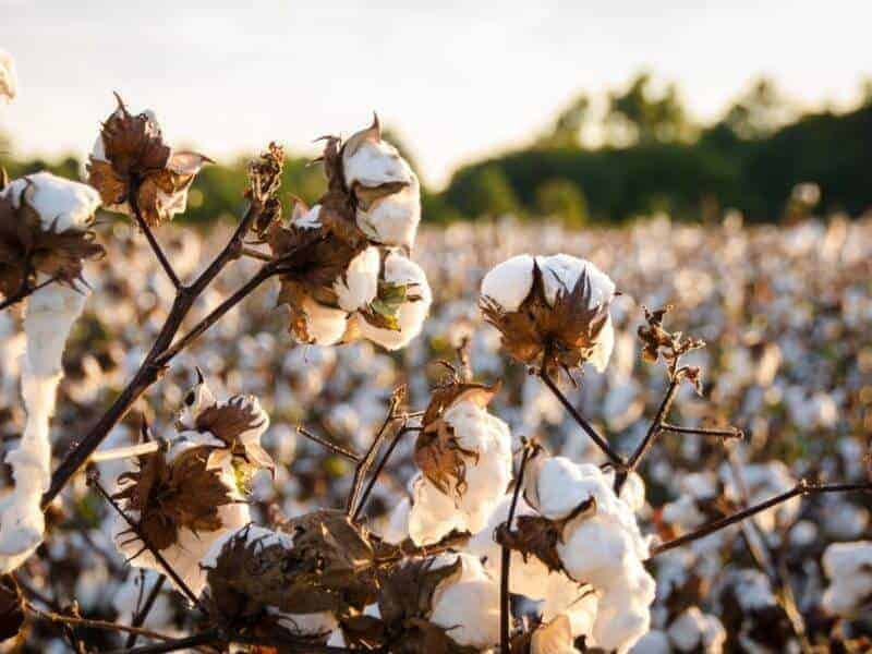 FDA Approves Ultra-Low Gossypol Cottonseed For Human, Animal Consumption