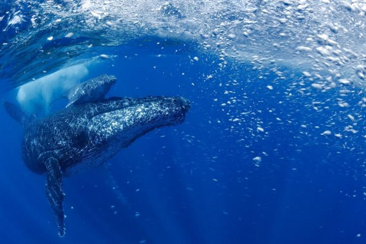 Humpback whale population on the rise after near miss with extinction