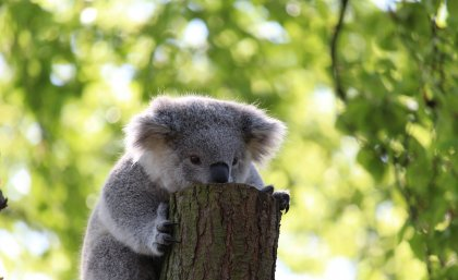 Sperm and egg cell 'immune response' protects koala DNA