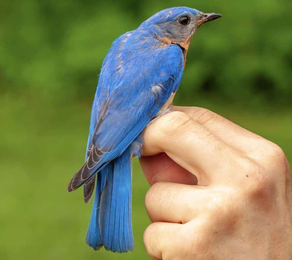 Daddy daycare: Why some songbirds care for the wrong kids