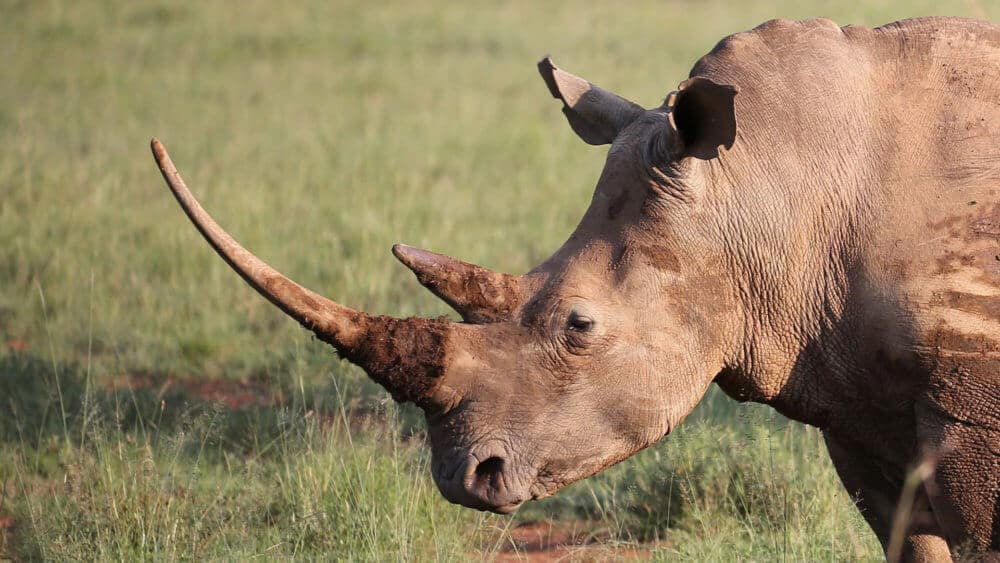 Scientists Have Created Fake Rhino Horn. Could It Curb the Illegal Wildlife Trade?