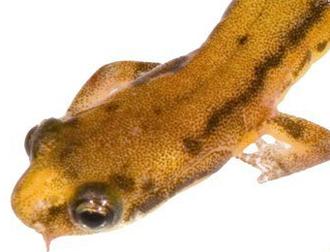 i-ef62b62e543a619c9731c45c1d19887a-Patch-nosed_salamander_T_Lamb_head-shot_July-2009.jpg