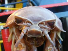 Anterior view of giant isopod.