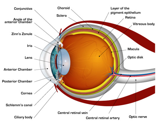 DIAGRAMS RELATED TO STRUCTURE&WORKING OF HUMAN EYE