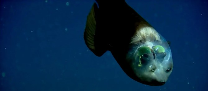 Barreleye fish