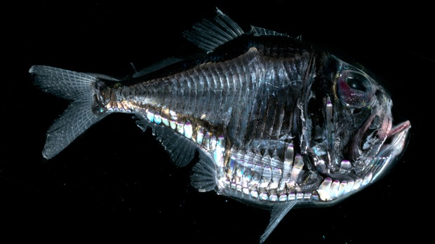 deep sea fish - black dragonfish, long-nosed chimaera, blobfish, Reel Combo