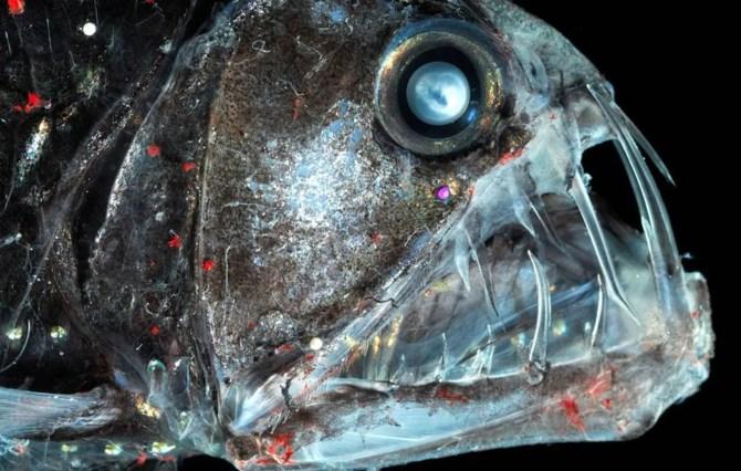 Sloane's viperfish