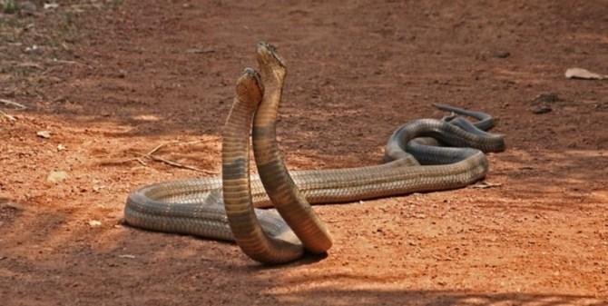 King Cobras dancing