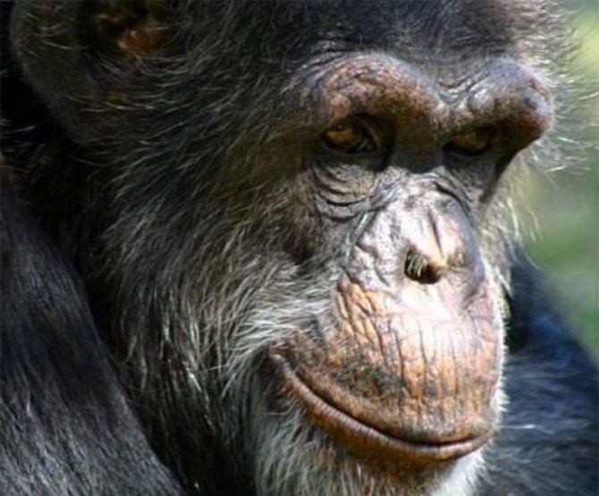 Chimpanzee male