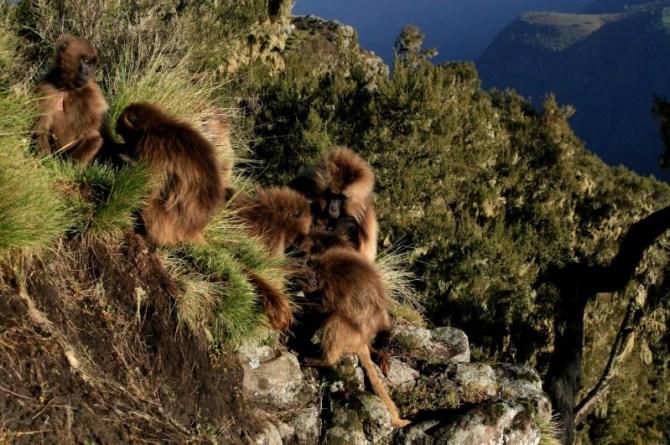 Geladas on cliff