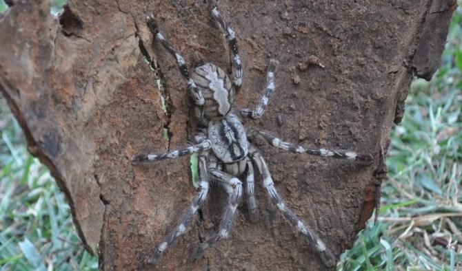 Tiger spider tarantula Poecilotheria rajaei