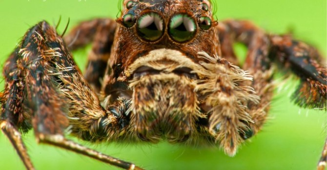Portia jumping spiders