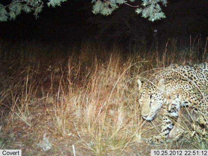 Jaguar camera trap Arizona