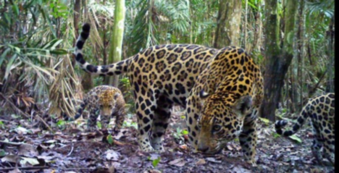Jaguar with cubs