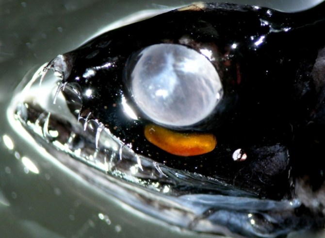 Black dragonfish eye