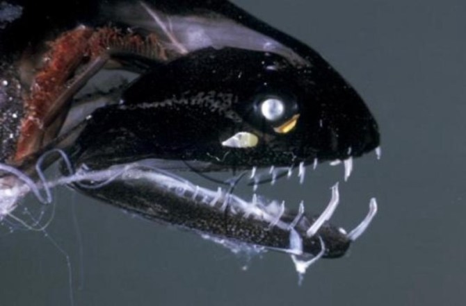 Black dragonfish