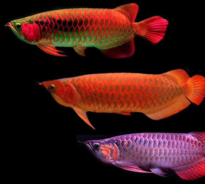 Dragonfish Asian Arowana
