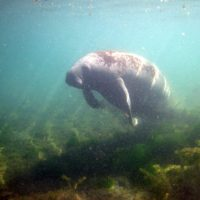 Manatees -- Description, Pictures, Behavior, Lifespan, & Folk Stories
