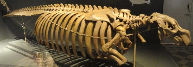 Skeleton Stellar's sea cow