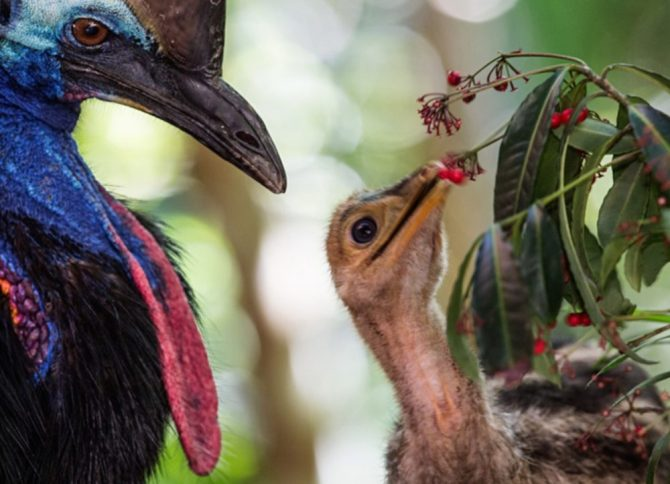 Cassowary with chick eating