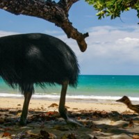 Southern Cassowary (Casuarius Casuarius) -- Bird, Attacks On Humans, Feet, & Pictures