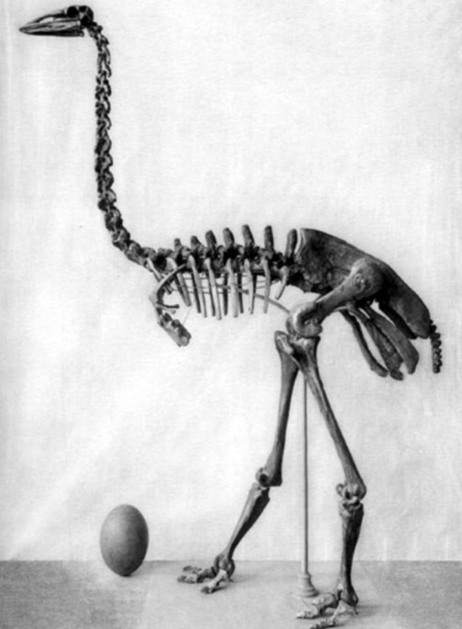 Elephant bird fossil skeleton