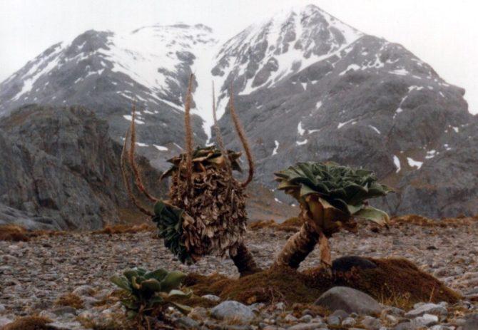 Antarctica Kerguelen Cabbage plants