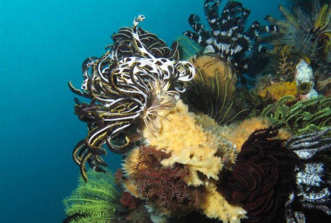 Reef Crinoidea