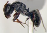 Worker C from Tree 1 - Lateral view