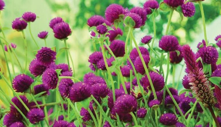 मखमली फूल